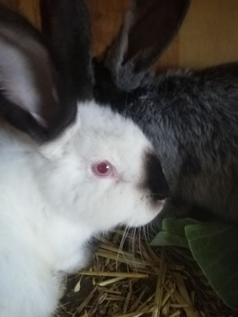 Sprzedam króliki kalifornijskie samce i samice