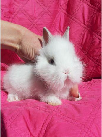 Карликовые супер мини кролики декоративные крольчата