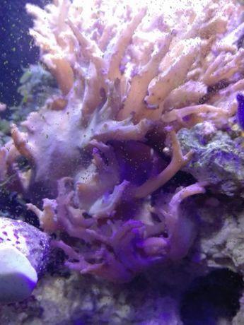 Sinularia spp morskie akwarium