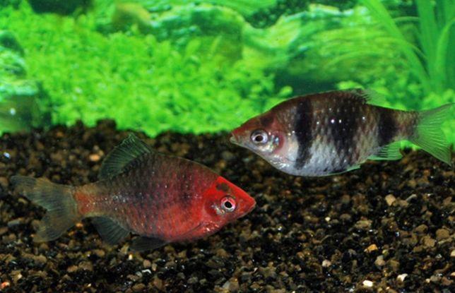 Brzanka purpurowa Puntius nigrofasciatus