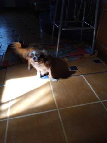 Собака чихуахуа,девочка