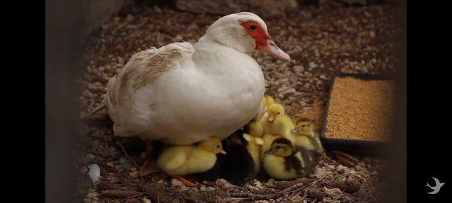 Patos mudos com 1 semana