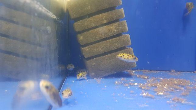 Rybki kolcobrzuch zielony
