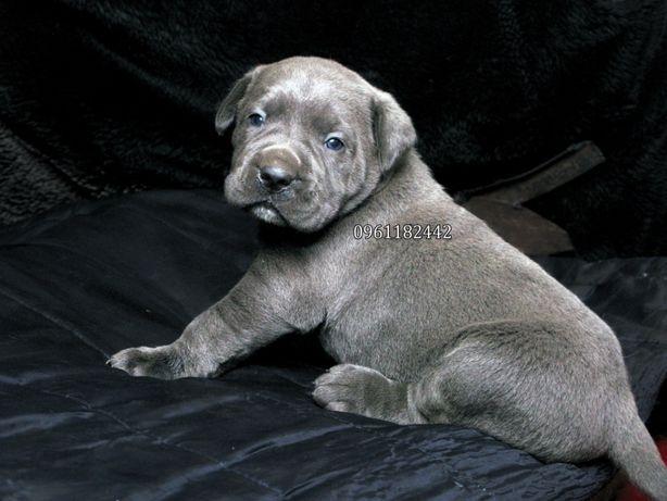 Голубоглазая красавица девочка щенок, смышленная, без тигры