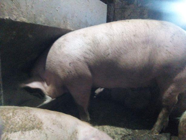 Продаю свиней мясної породи . Петрен + Велика біла