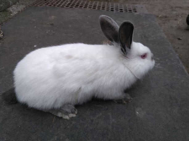 Sprzedam króliki hodowlane rasy kalifornijski.