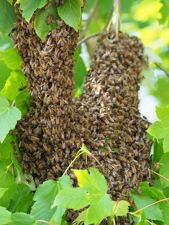 Rójka pszczół dzikie pszczoły