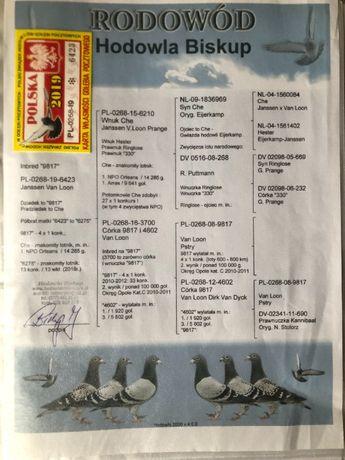 Gołębie pocztowe Janssen Van Loon