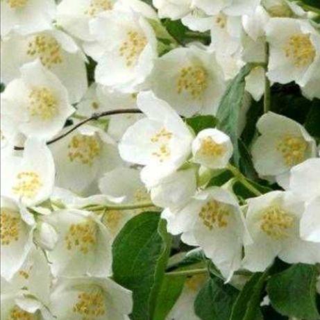 Jaśminowiec, krzew kwitnie pięknie i pachnie.