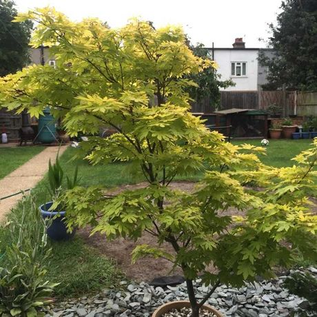 Acer katsura ideal para bonsai e jardins