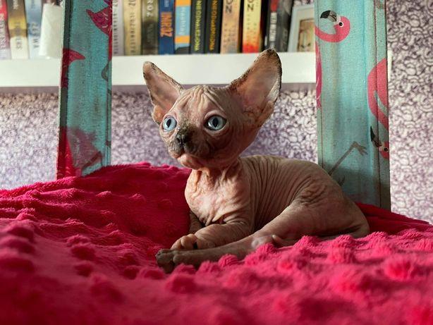 Kotka sfinks piękny profil, legalna hodowla wcf