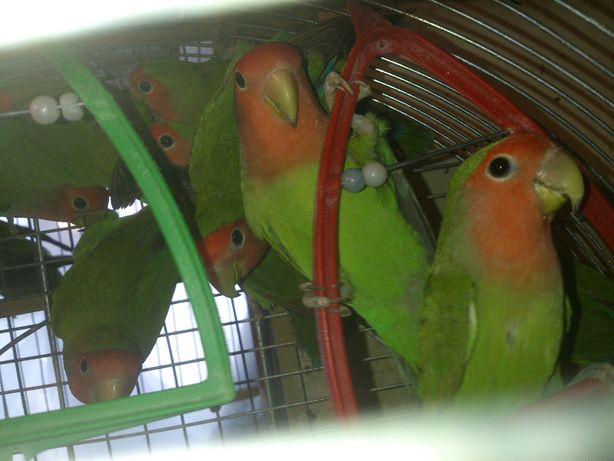 попугаи нерозлучники