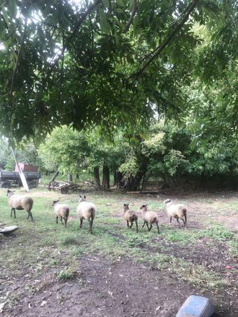 Продам романівські вівці