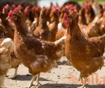 яйця для інкубації кури Шейвер Браун