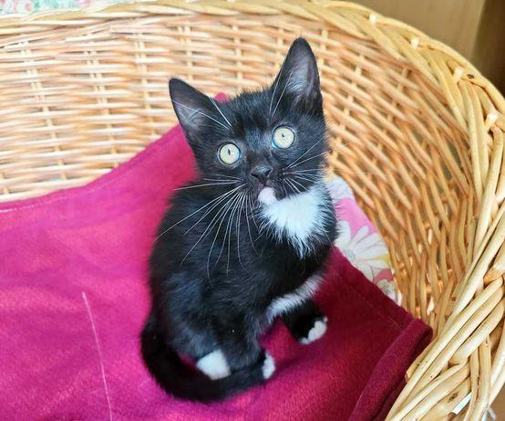 Черно-белый ласковый  котёнок Кристиан 2 мес, хочет домой Кот Котенок