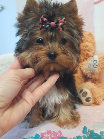 Yorkshire terrier carrier sliczna suczka miniaturka