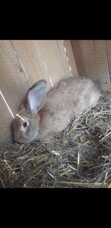 Tuszka z królika
