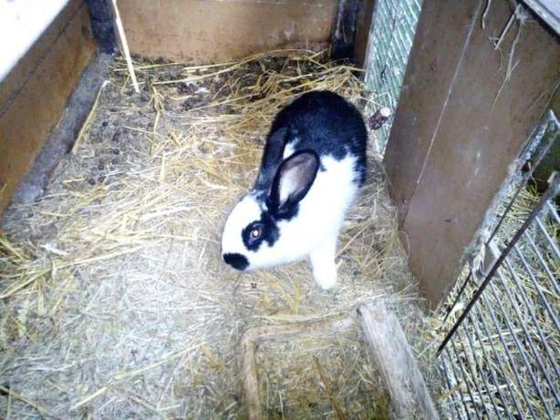 Sprzedam samice młodą , króliki