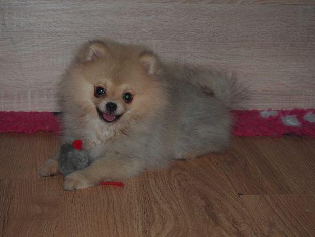 *Pomeranian typ Misia komplet szczepień po kwarantannie- Rodowód*