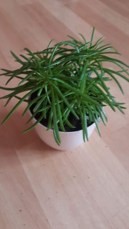 Starzec, roślina doniczkowa