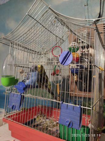 Папугайчики мальчик и девочка , очень красивые ,вместе с клеткой