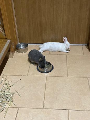 Coelho anão holandês (Netherland Dwarf) o coelho mais pequeno)