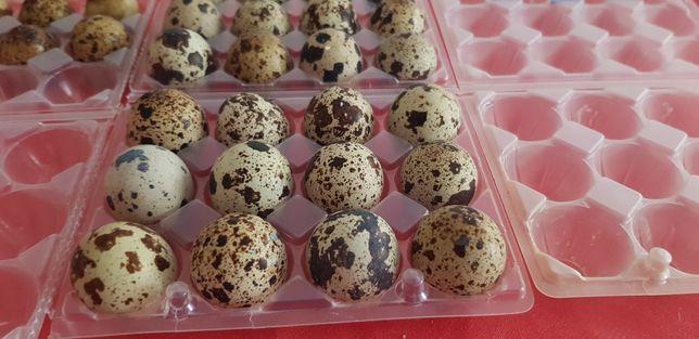 Ovos de codorniz