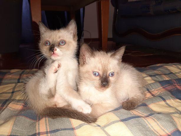 Gatinhas Siamês Bebés p/adoção