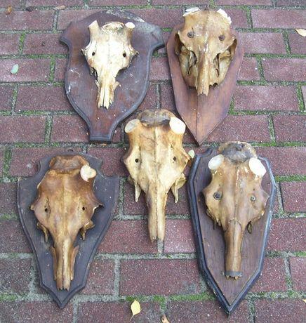 rogi poroże czaszki jeleń byk