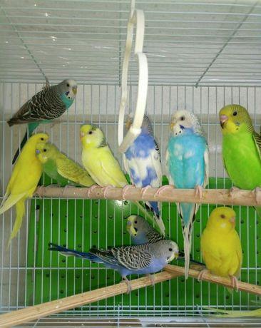 Попугайчики волнистые иклетки