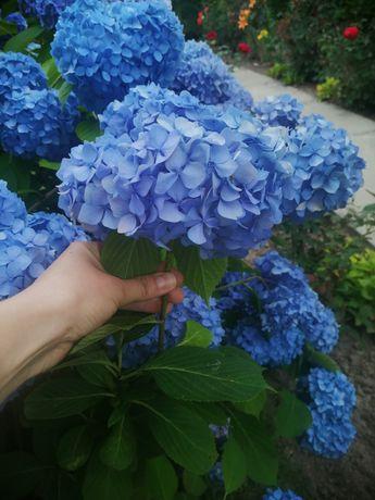 Гортензія, квіти на зріз