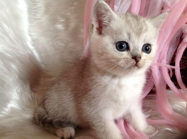 Шотландские котята серебристые шиншиллы