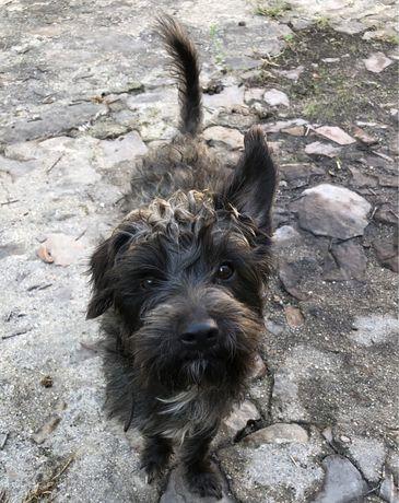 Dunga, cãozinho de porte pequeno, para adoção responsável
