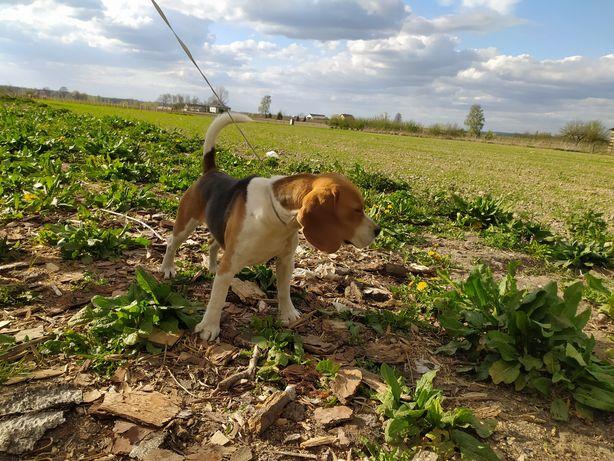 Pies beagle samiec