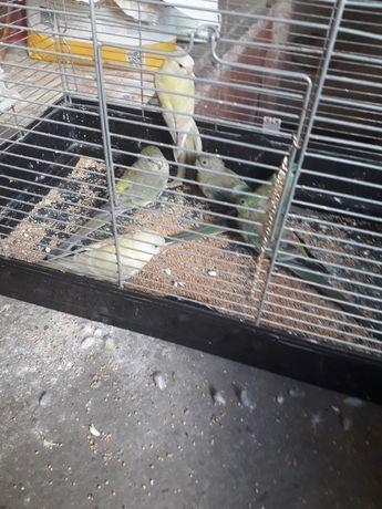 Papużki papugi świergoty para seledynowych