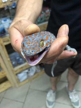 ГЕКОН ТОКІ (Gekko gecko)