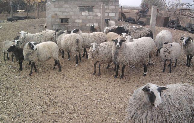 овцы романовские с ягнятами