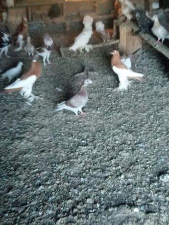 голуби німці