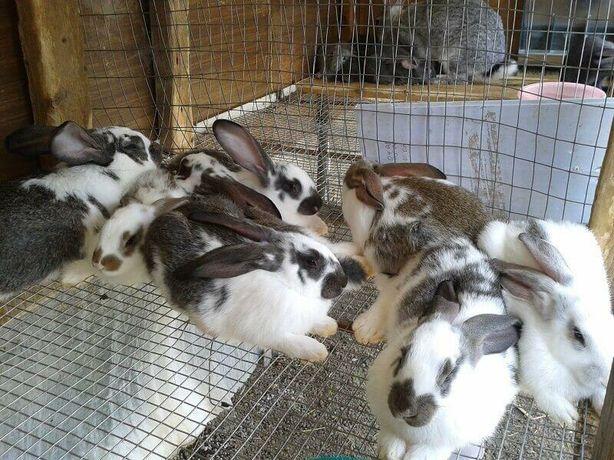 Продаються молоді кролики кролі кролик кролиця кріль король самка