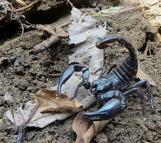 Скорпион Heterometrus spinifer (Азиатский лесной скорпион)