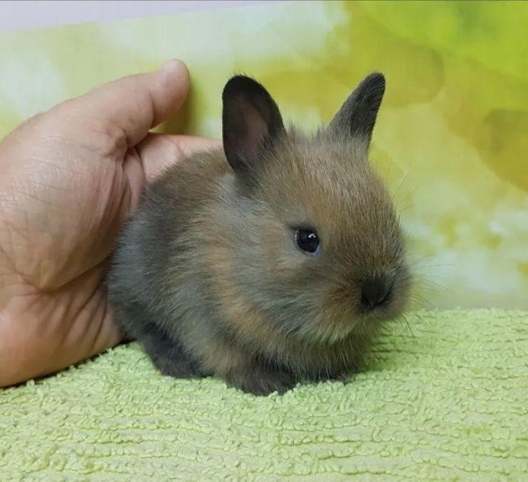 KIT completo coelhos anões mini holandês e minitoy super meigos Odivelas - imagem 1