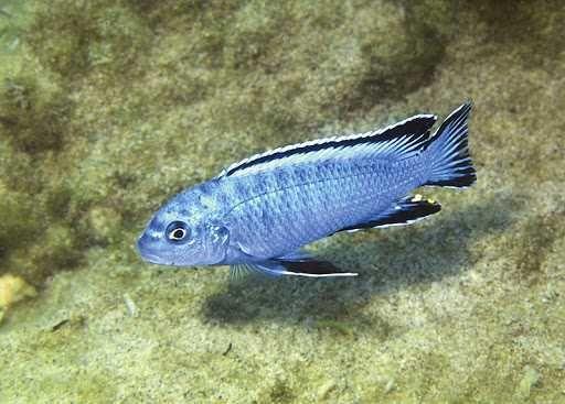 Chidongo Socolofi Azul