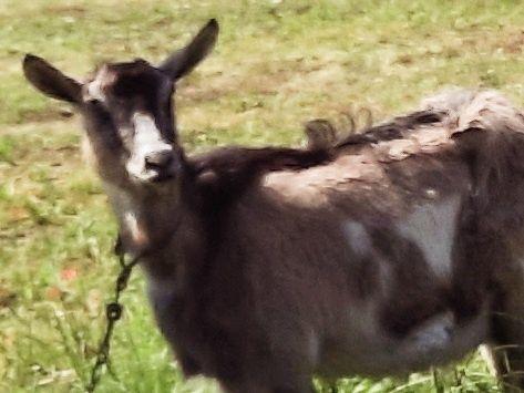 Продам добру козу, козочку .067х336х10х91 Таїса