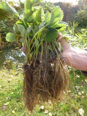 Sadzonki truskawek JESIEŃ 2021 kwalifikowane sadzonki truskawek