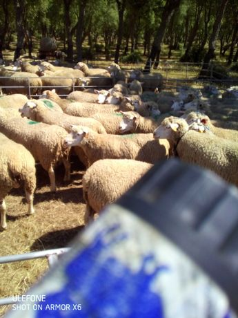 Vende se 30 ovelhas ilfrance e 4 carneiros ilfrance puros