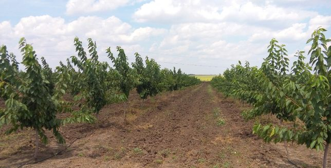 Обрезка, посадка и уход за плодовыми деревьями.