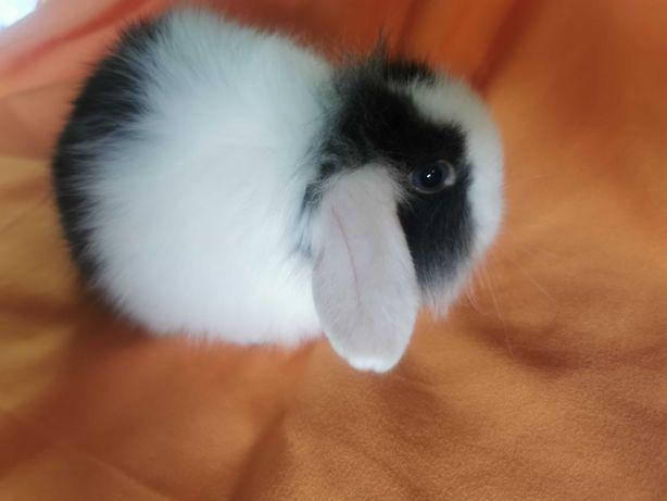 Mini coelhos Orelhudos muito dóceis (Bebés) +KIT Gaiola Nova