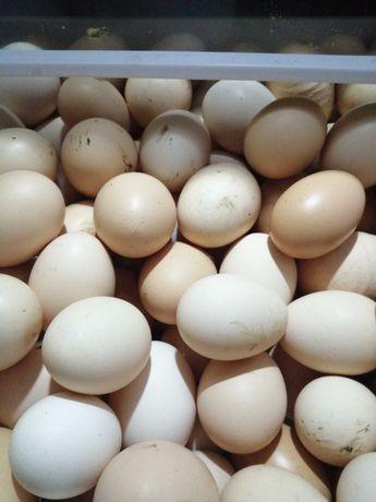 Sprzedam jaja kurze