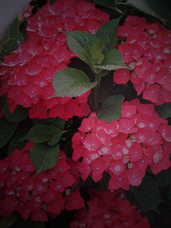 Hortensja Ogrodowa Czerwona