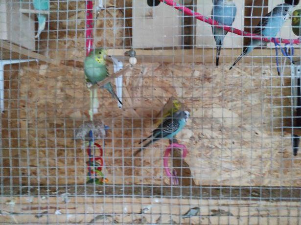 Sprzedam papużki